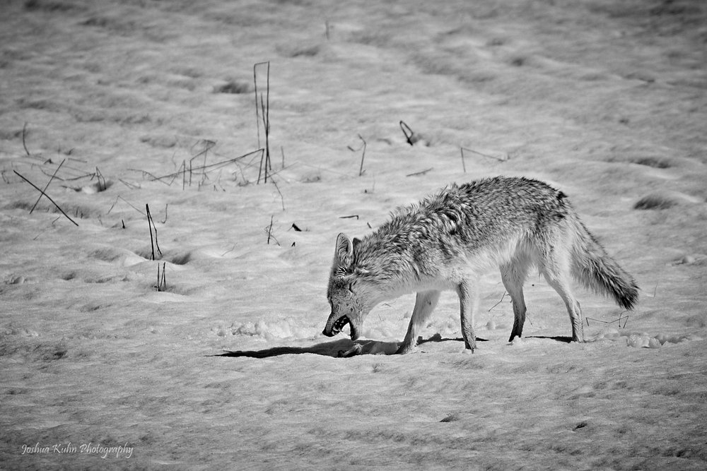 Famished Coyote
