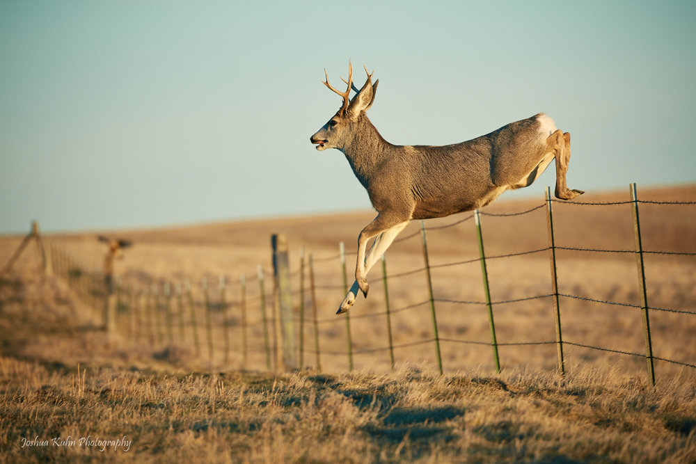 Mule Deer High Jump  Purchase