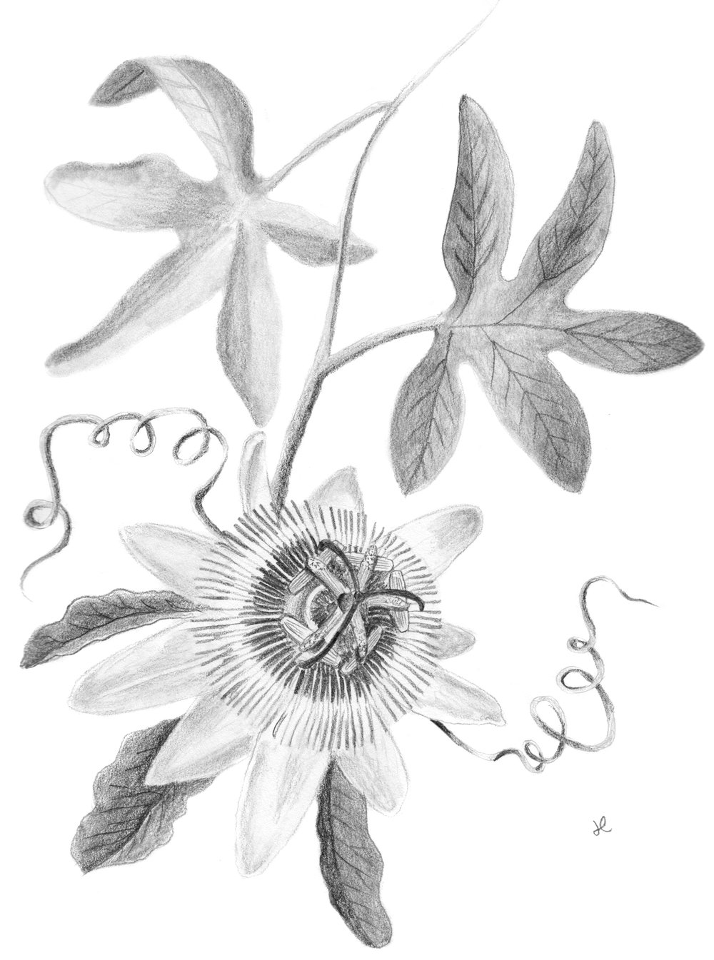 Passion Flower Final Drawing.jpeg