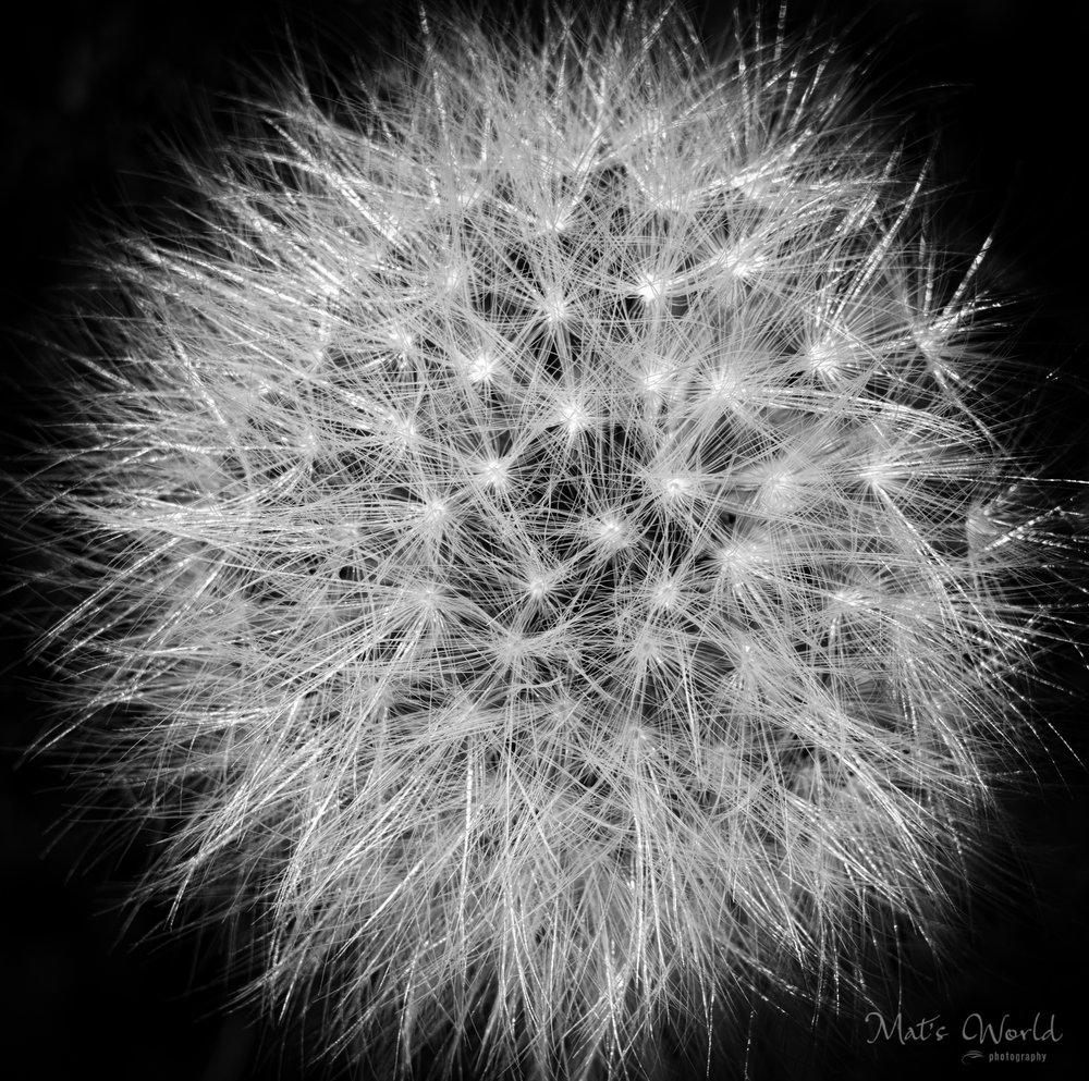 Dandelion (1 of 1).jpg