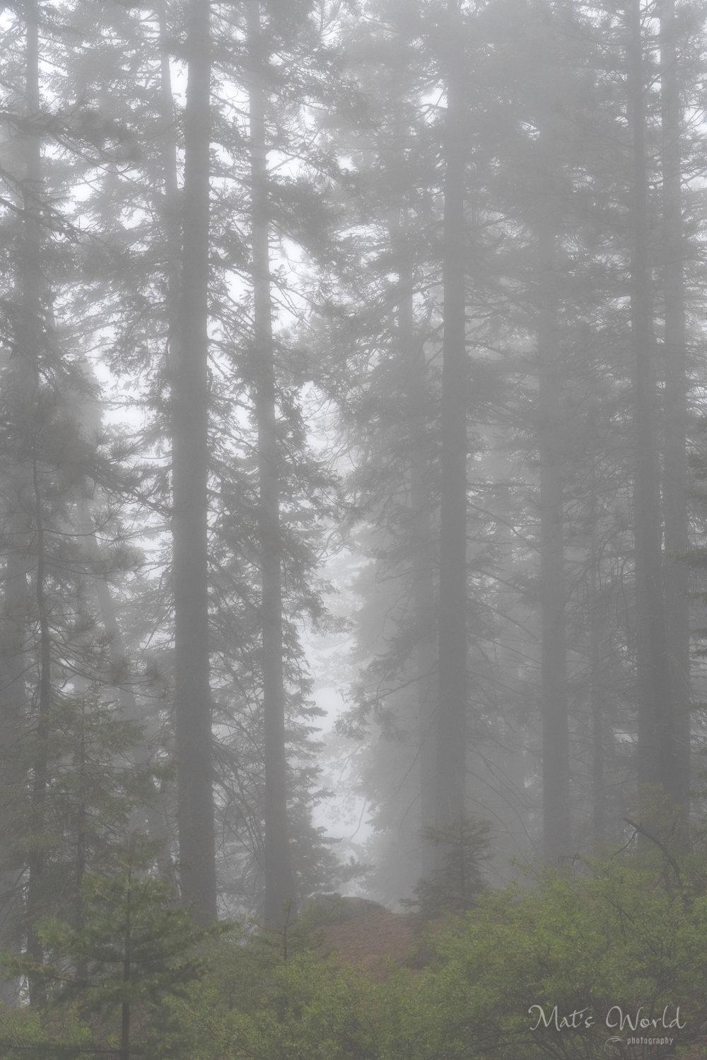 TreesinFog (1 of 1).jpg
