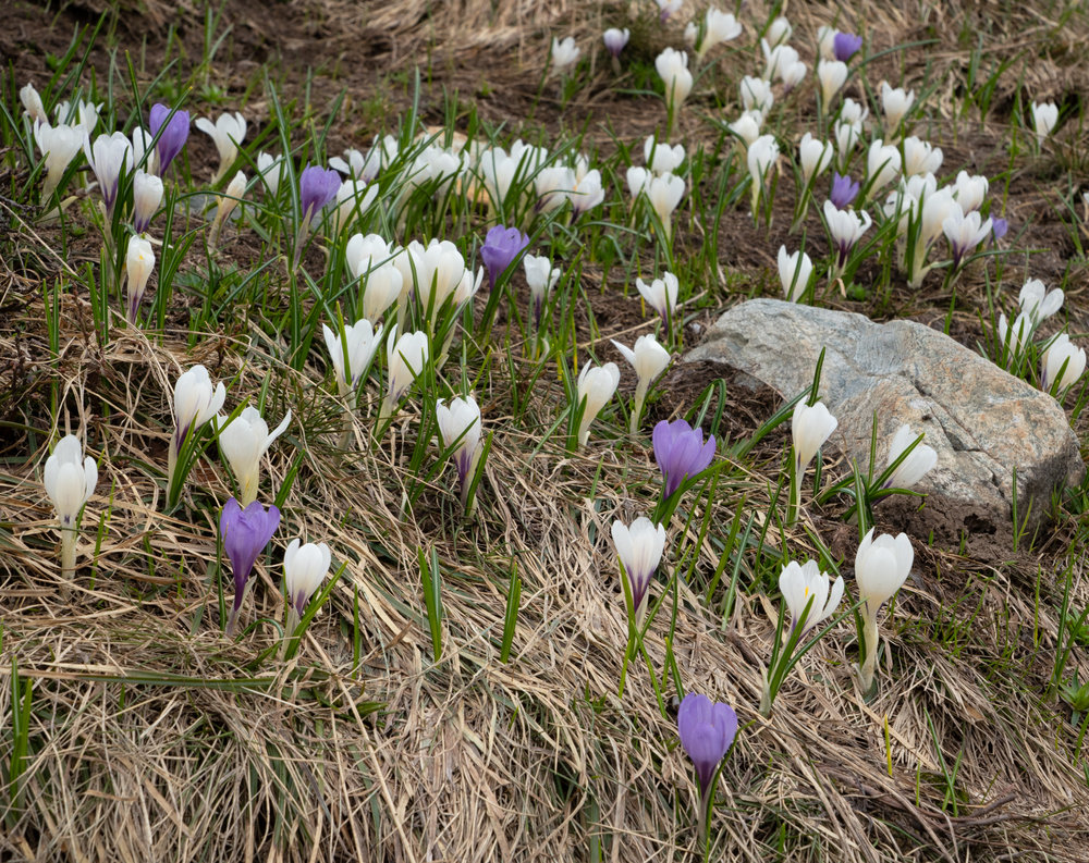 """Colchiques des Alpes"" flowers everywhere. They are beautiful, but quite toxic, unfortunately."