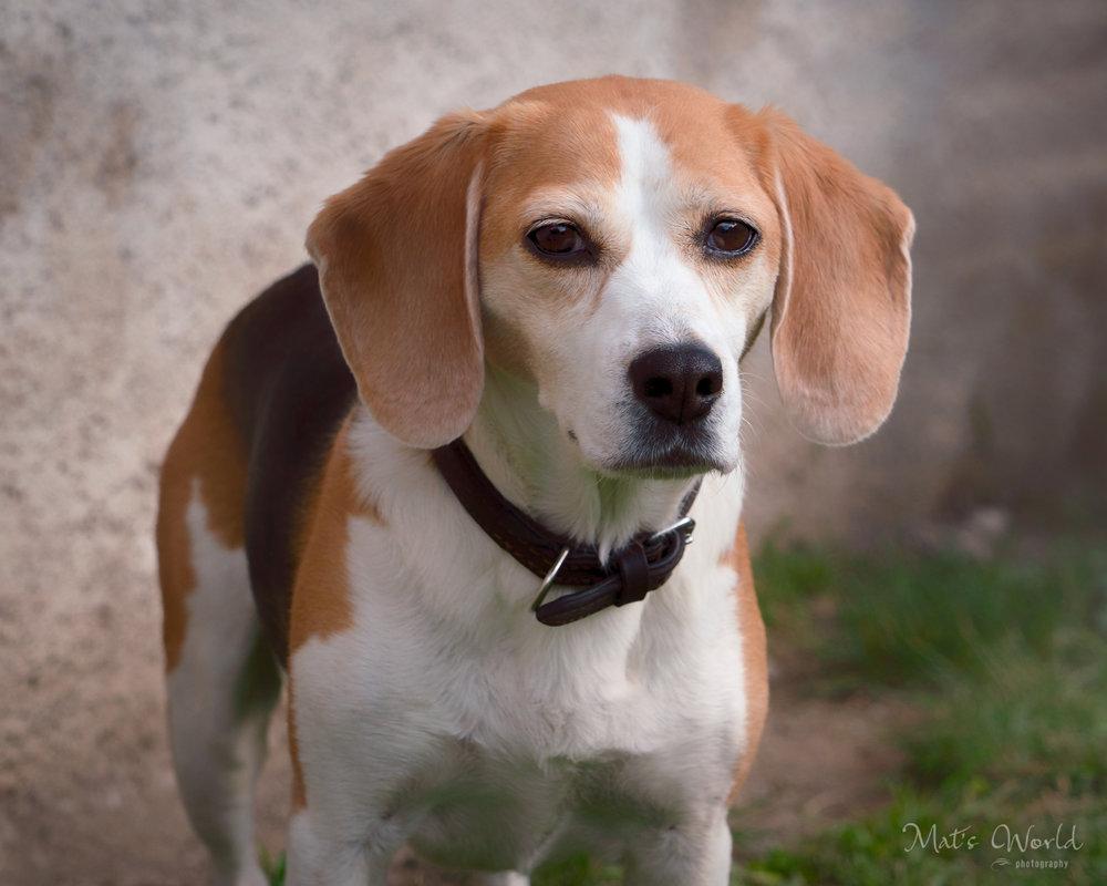 BeaglesBlog (1 of 1).jpg