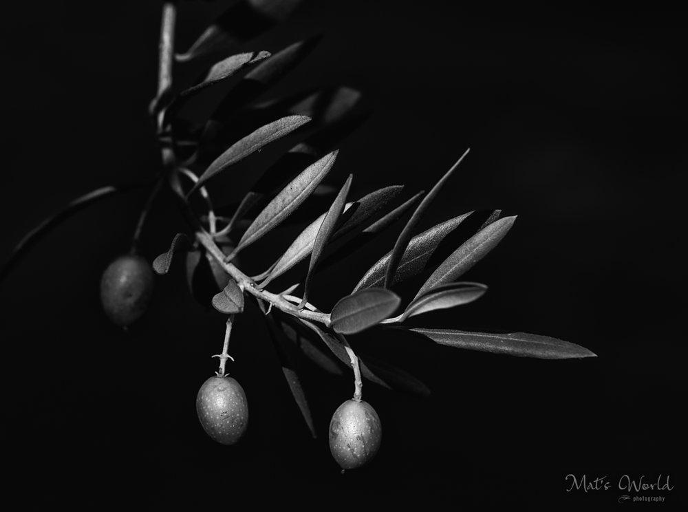 Olive (1 of 1).jpg