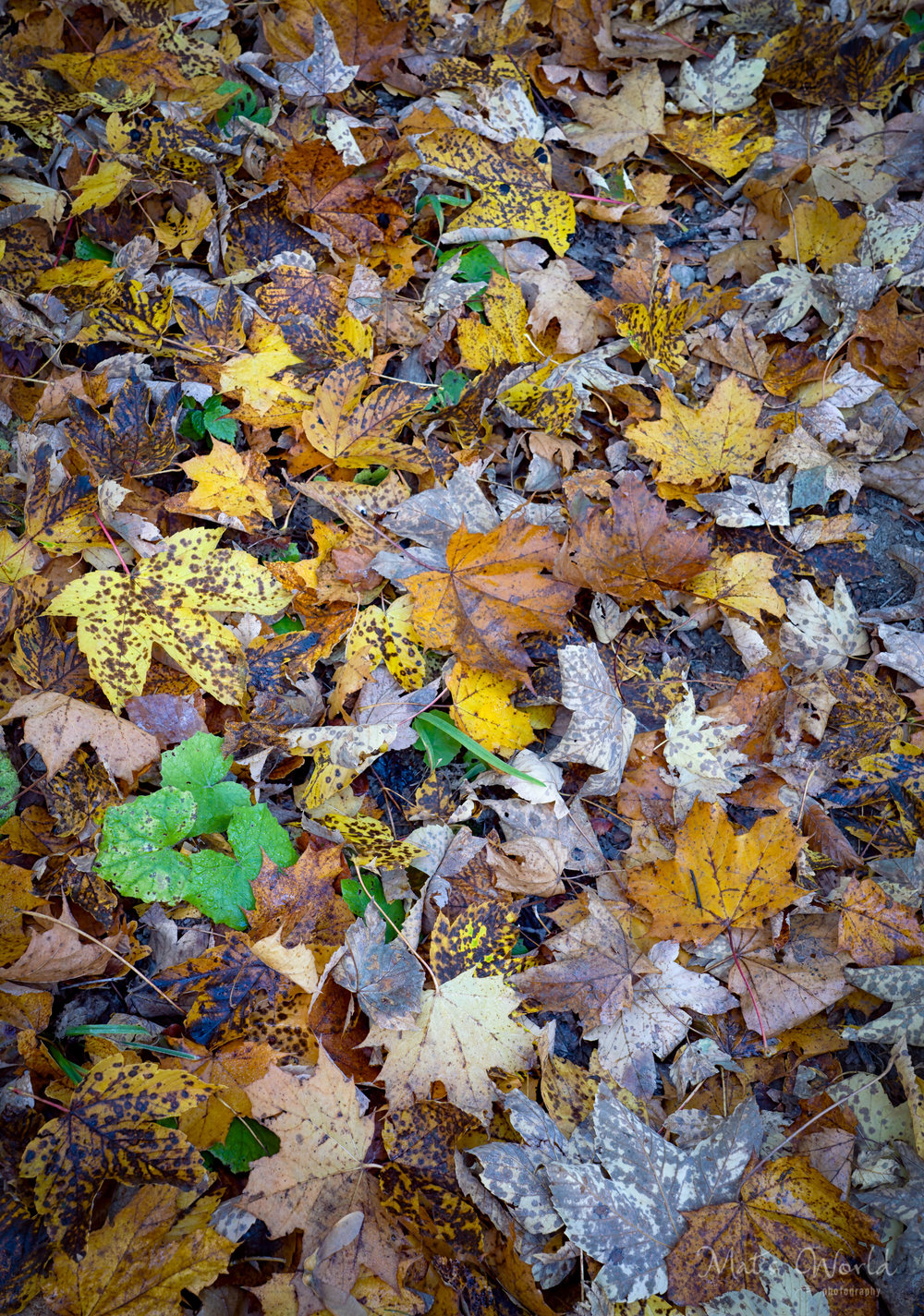 Fall Leaves (1 of 1).jpg