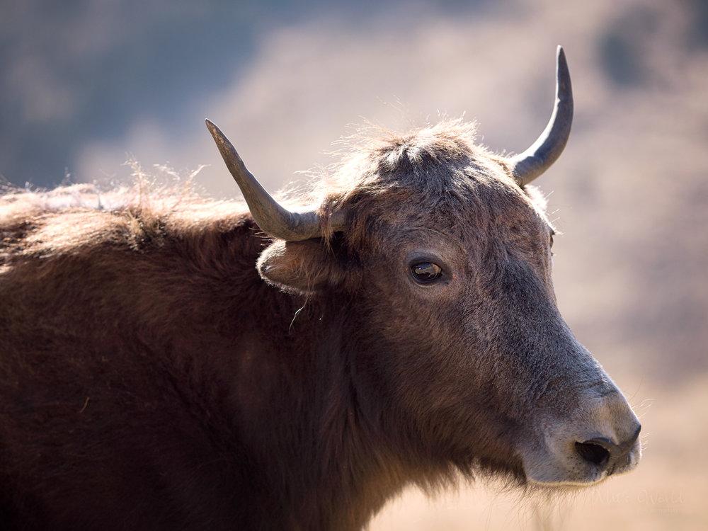 yak (1 of 1).jpg
