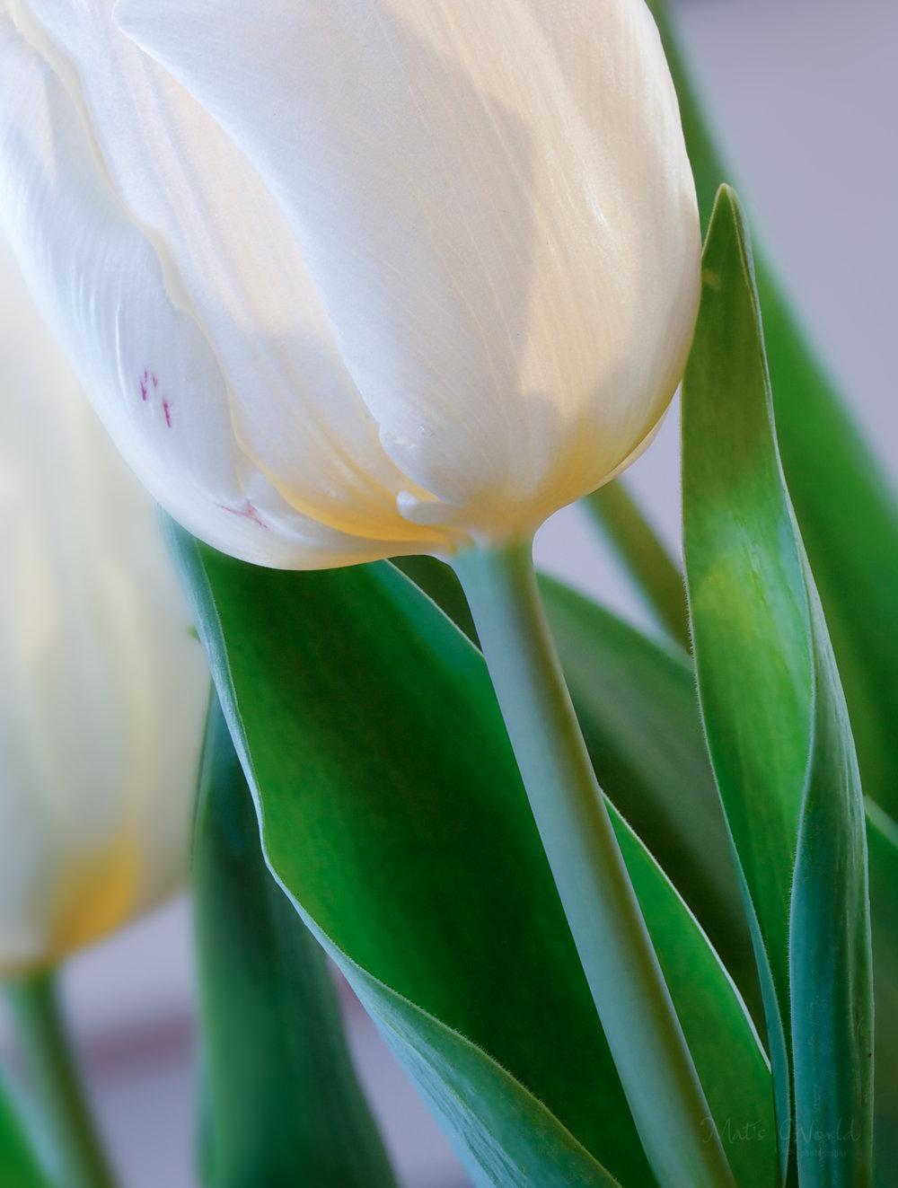 Tulip (1 of 1).jpg