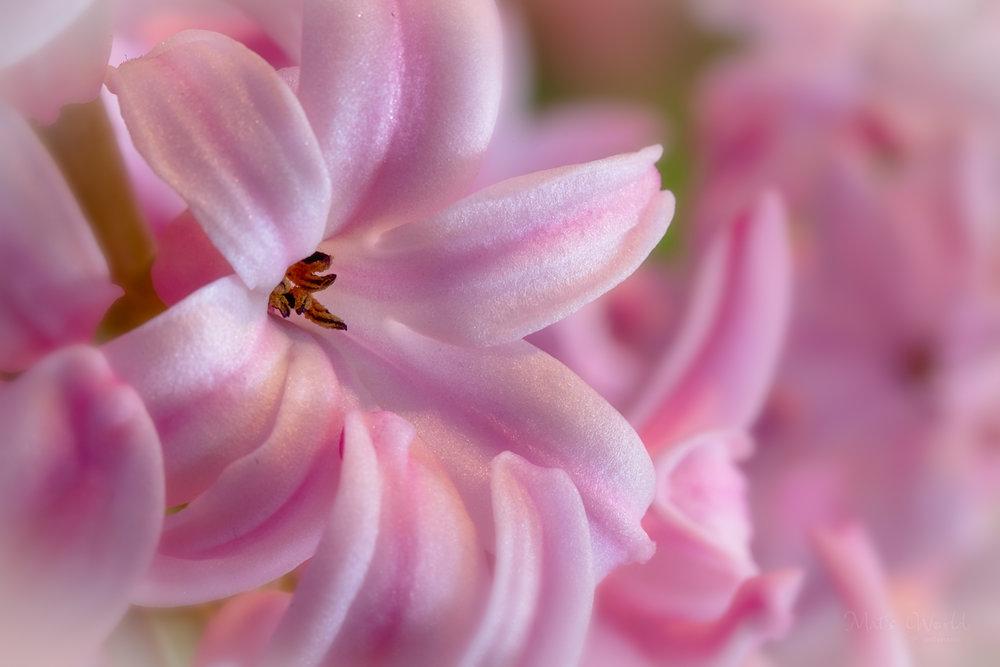 Hyacinth (1 of 1).jpg