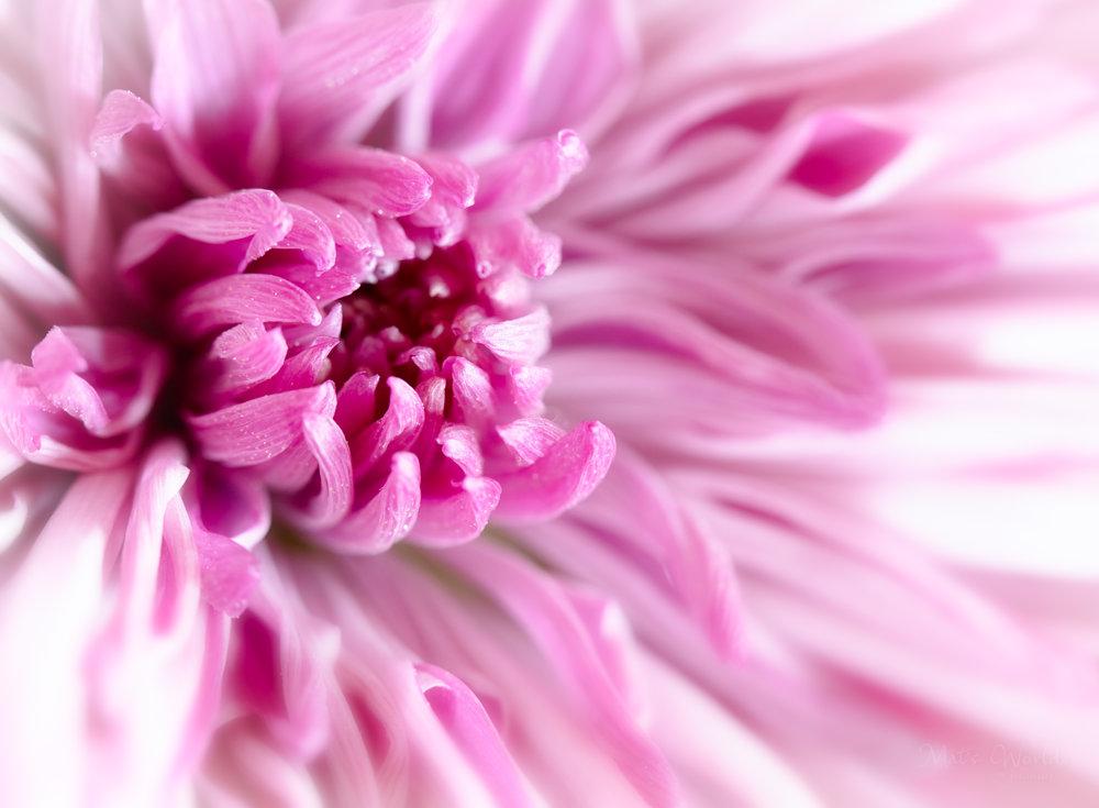FlowerPinkSOftFocus (1 of 1).jpg