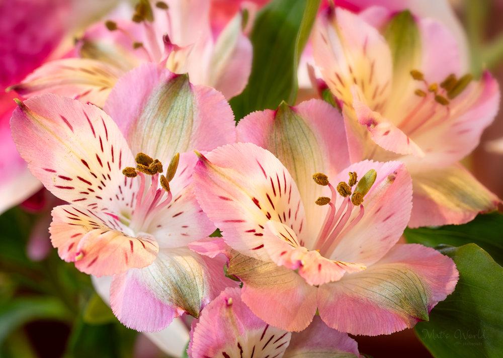 Lilies (1 of 1).jpg