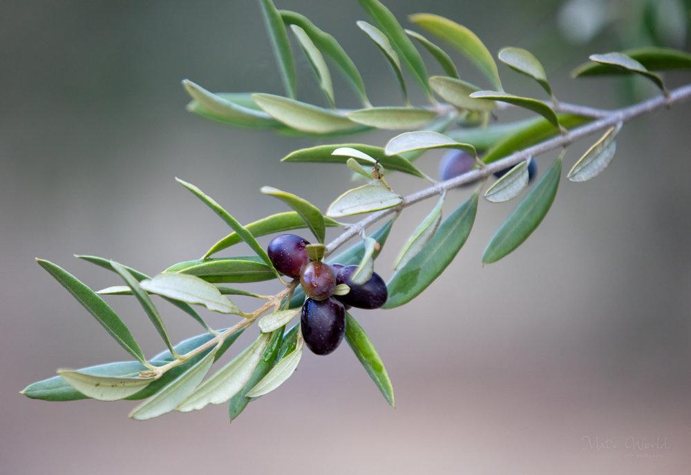 Olive365ANARepost (5 of 37).jpg