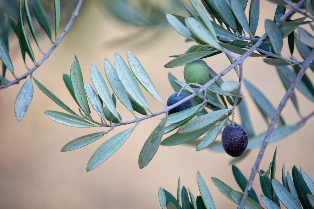 Olive365ANAReposto (1 of 1).jpg