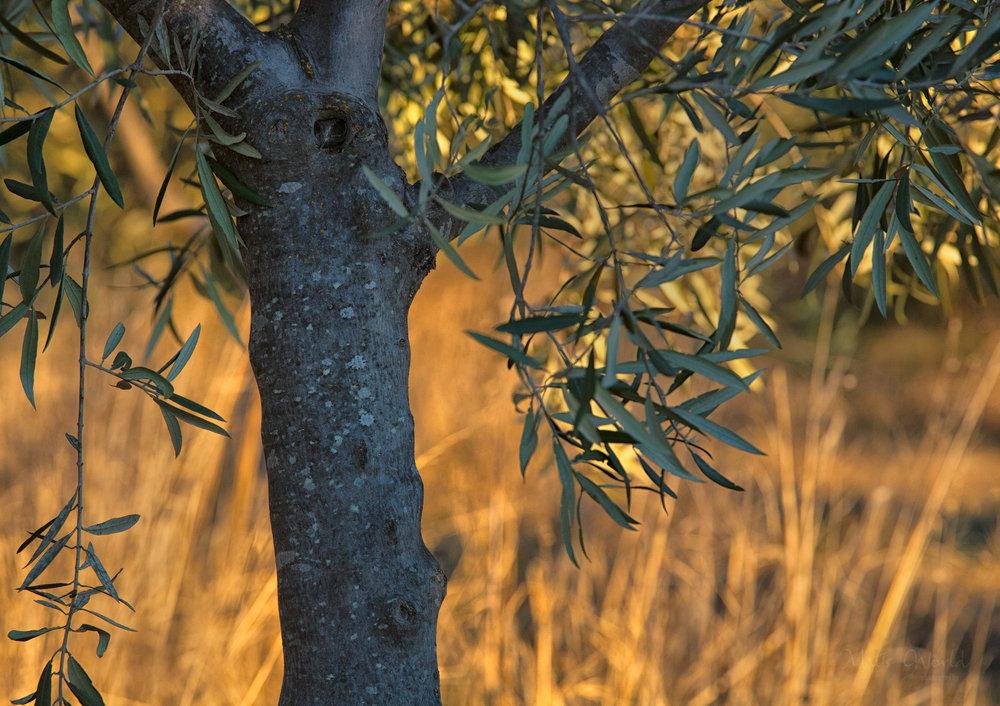Olive tree (1 of 1).jpg