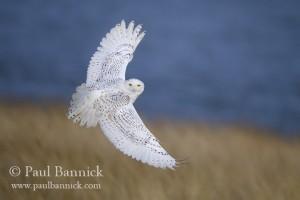 Snowy Owl 9353