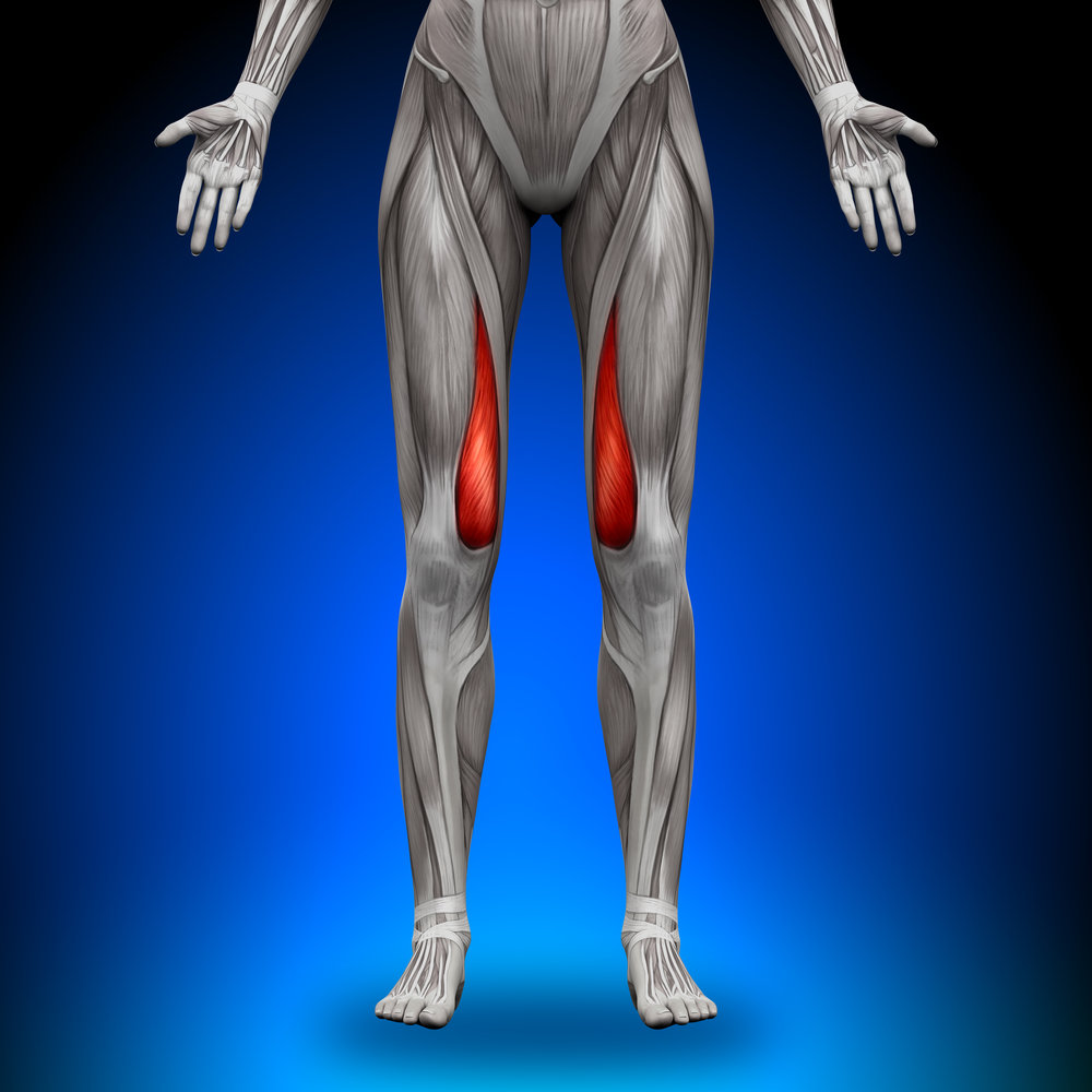 "Vastus medialis, or the ""tear drop"" muscle, is shown in red."