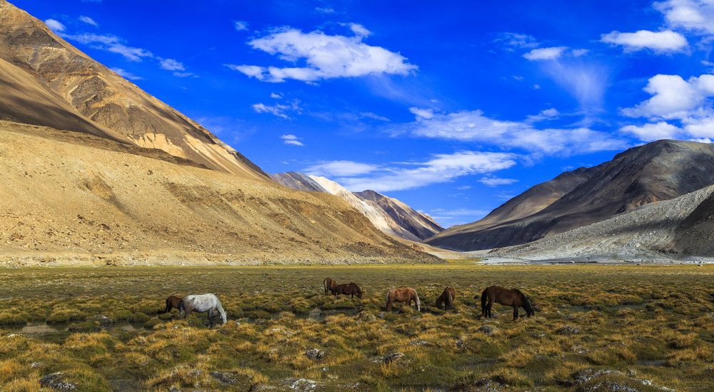 Grazing grounds of Himalayan horses