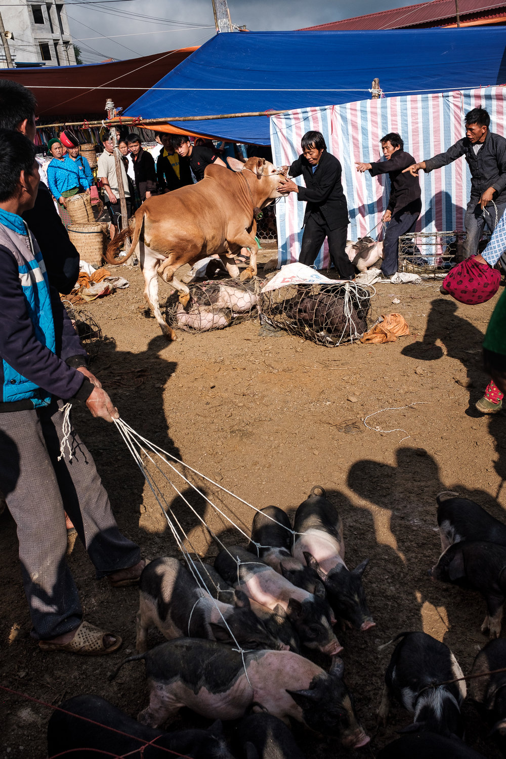 The crowd trying to control a raging cow in Dong van market.