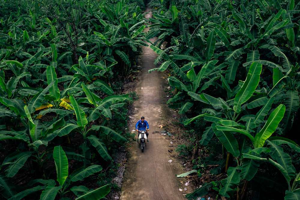 Motocycle rider riding a scooter through a banana plantation