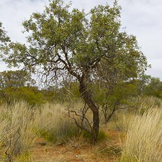 wild-sandalwood.jpg