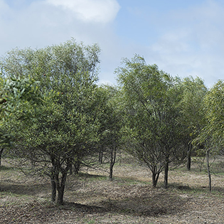 plantation-sandalwood.jpg