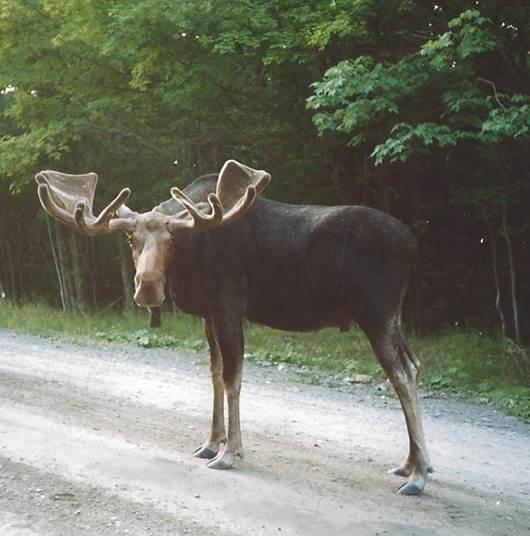 Bull Moose in Road.jpg