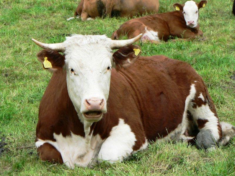 Il formaggio biologico distribuito dall'azienda agricola Sebastino Pinna è prodotto da animali a pascolo naturale, o allevati in aziende agricole certificate. -