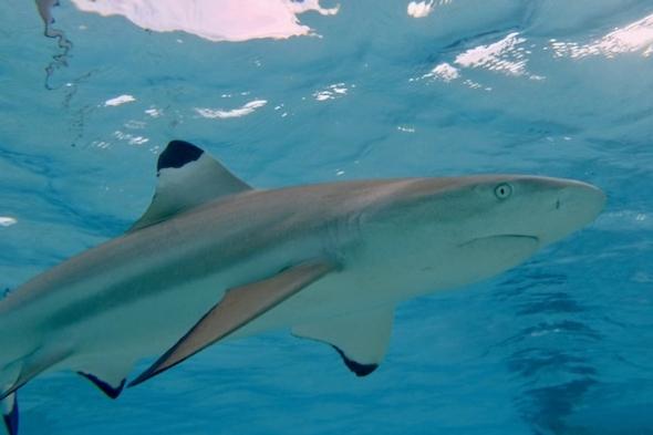 Blacktip shark (carcharhinus melanopterus).  Credit: Kristin Hettermann