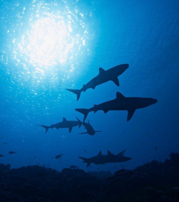 Grey reef sharks (carcharhinus amblyrhynchos).Credit: Kristin Hettermann