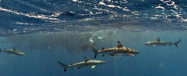 Blacktip sharks (carcharhinus melanopterus). Credit: Kristin Hettermann