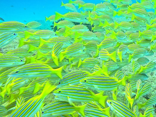 Blue-and-Gold Snapper (also called the blue-striped snapper), in a marine reserve off Baja California Sur, Mexico  Credit: Kristin Hettermann
