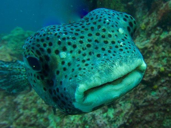 Pacific Burrfish. Credit: Kristin Hettermann