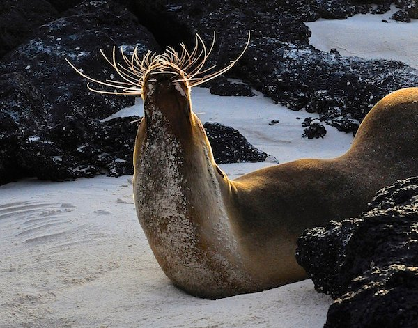 Galapagos Sea Lion. Credit: Kristin Hettermann