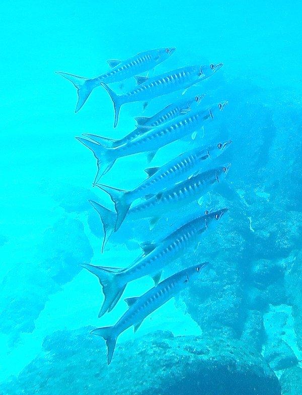 Pelican Barracuda. Credit: Kristin Hettermann