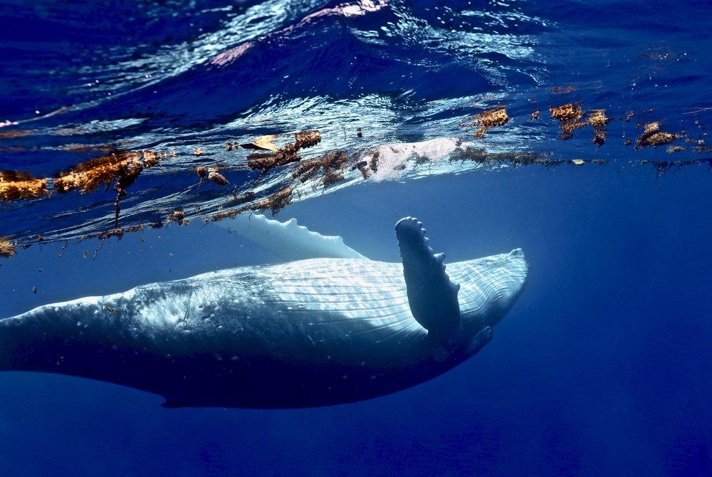 """""""Humpback in Shavasana,"""" ~ Mo'oorea, French Polynesia ~ no.2"""
