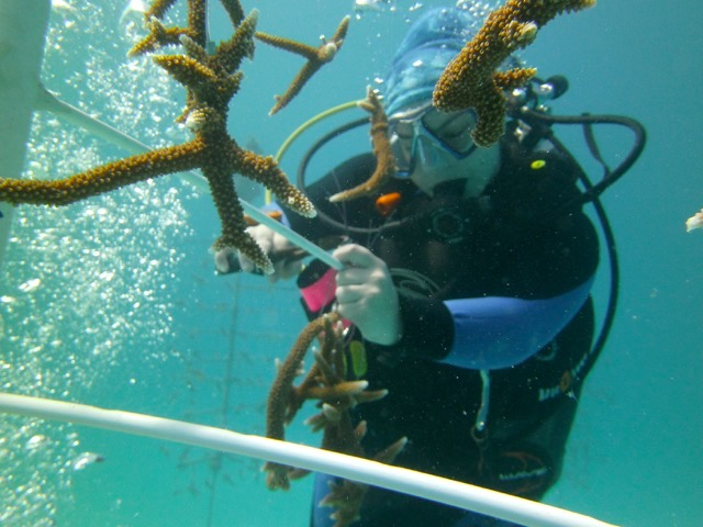 Natalia hanging a Staghorn coral fragment. (c) Stephen Kroll