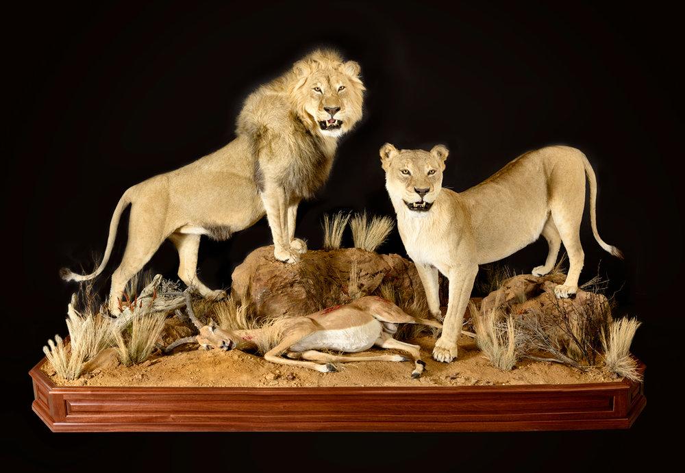 lions (1).jpg