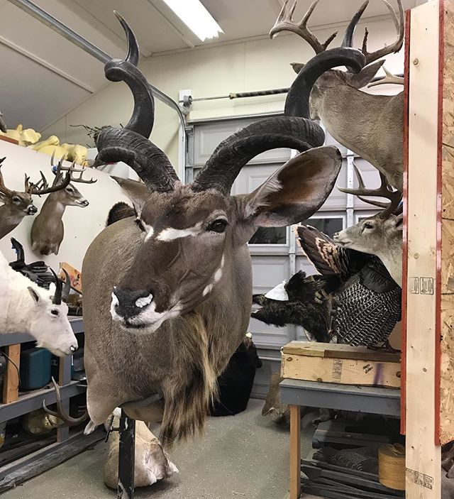 Yesterday's Kudu, lots of detail #Youngswildlife #kudumount #marylandtaxidermy #africanmounts