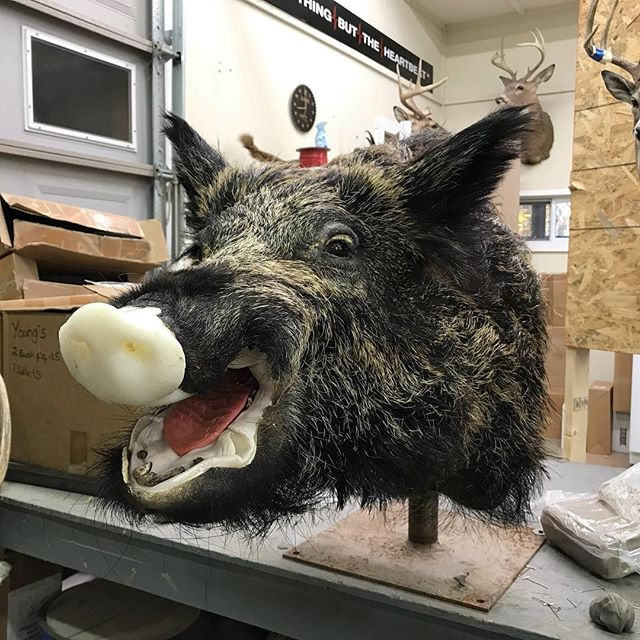 Wild boar from Serbia #youngswildlife#marylandtaxidermy#wildboarmounts