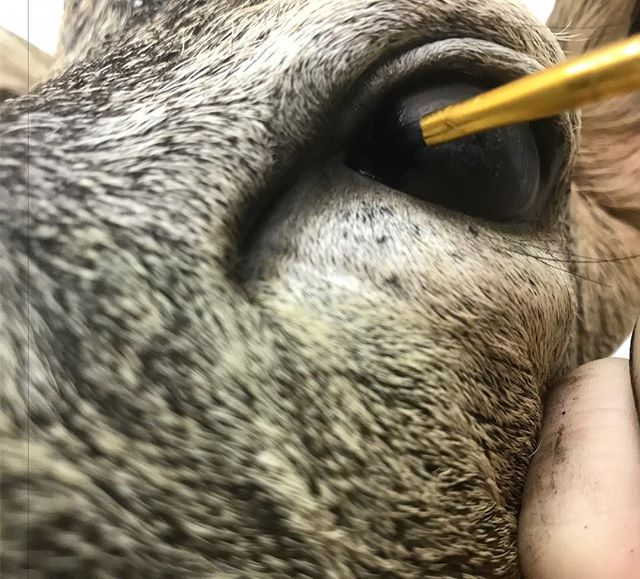 Painting the nictitating membrane on a Roe deer eye, details! #youngswildlife#marylandtaxidermy#roedeermount #highqualitytaxidermy
