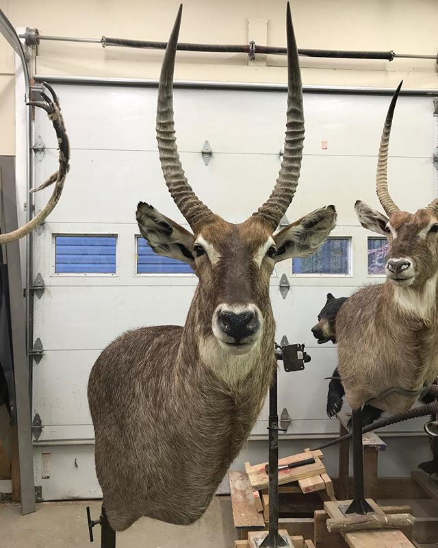 Just finished this waterbuck wall pedestal mount #youngswildlife #marylandtaxidermy #safarimounts#afriacanmounts#waterbuck