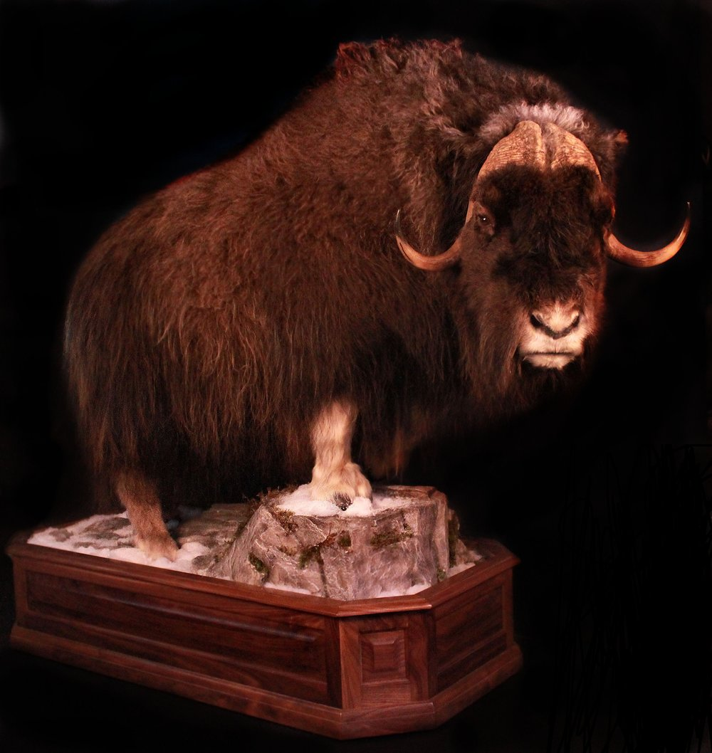 Muskox Revised without Logo & Photoshop.JPG