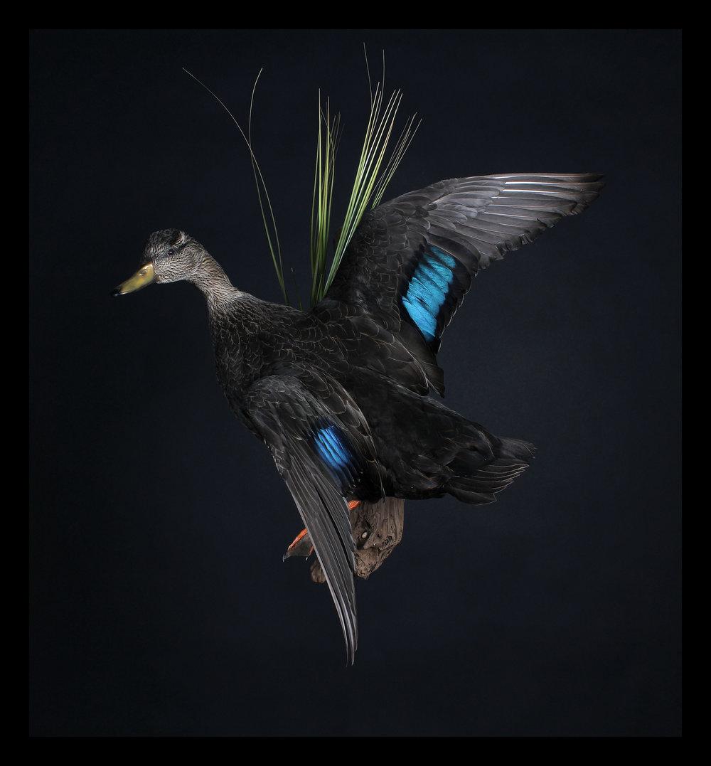 Black_Duck_2.jpg