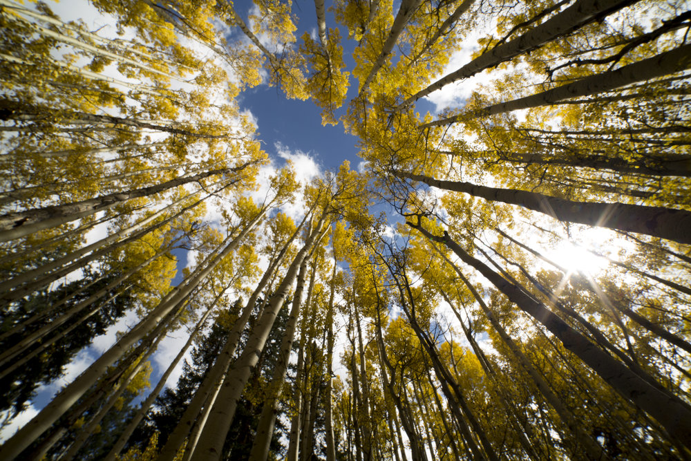 An aspen grove displays its autumn foliage in Colorado's San Juan Mountains.