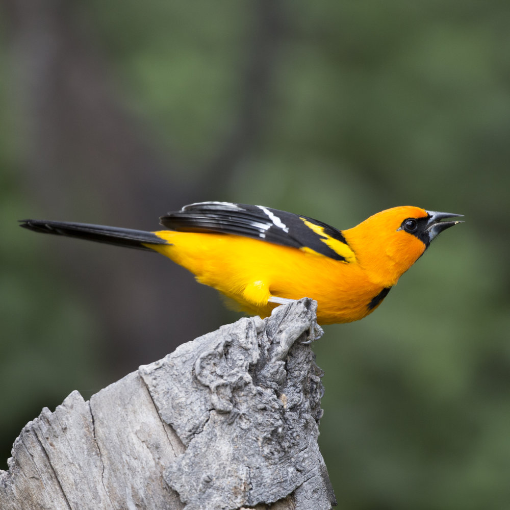 A Bullock's Oriole perches on a log at the National Butterfly Center in Texas' Rio Grande Valley