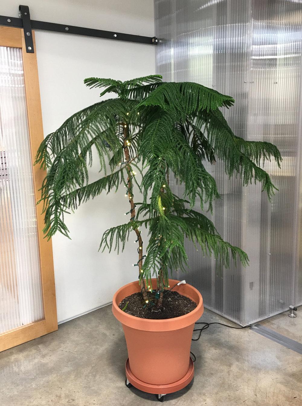 Norfolk Island pine (Araucaria Heterophylla)