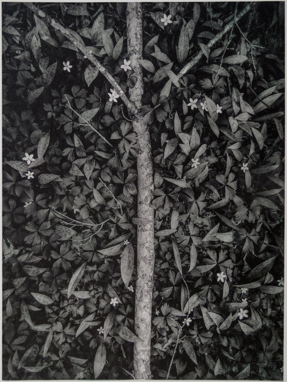 John Pearson, Wood Anemone, polymergravure