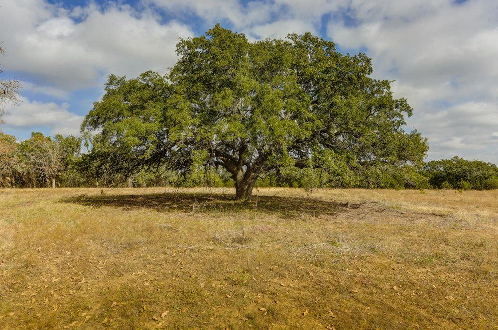 200 year old oaks