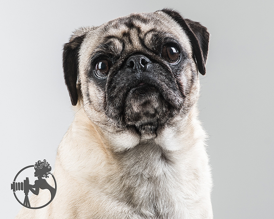 A headshot of a Pug.
