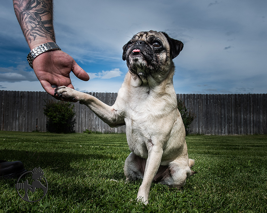 The Pug who shakes hands