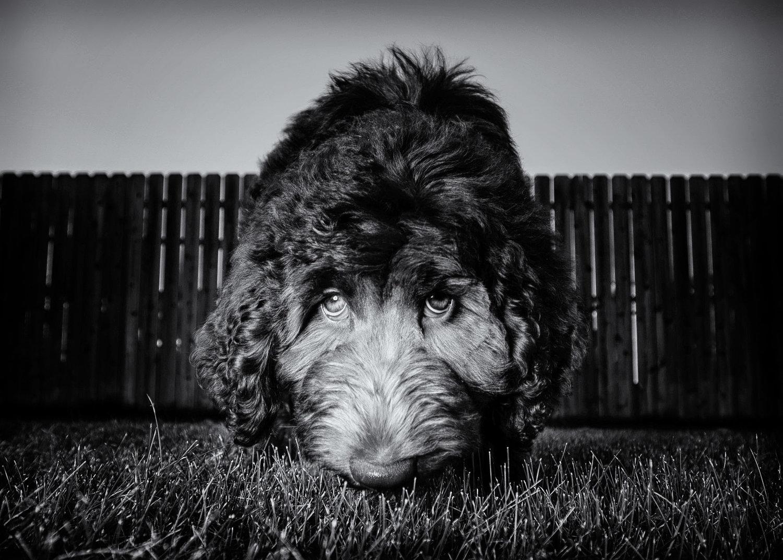 Dog Portraits — Melissa Laggis Photographer